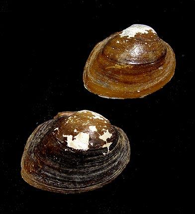 ミュージアムショップ 貝類標本...